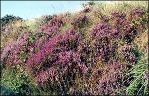 Heather beside the Glountane Road